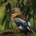 Blue-winged Kookaburra by maureen_g
