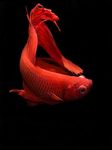 Betta fish diseases swim bladder disease for Betta fish swim bladder