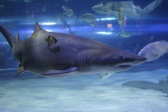 animal, fish, great white shark, shark, marine biology, carcharhiniformes, requiem shark, tiger shark,