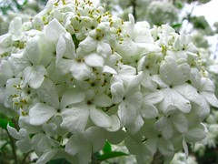 jasmine, hydrangea, shrub, flower, branch, plant, wildflower, flora,