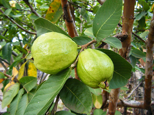 how to say guava in english