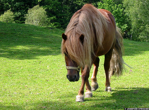 2002 summer horses horse favorite pet grass animal animals hair europe sweden pony chestnut ponies sverige animalplanet shetland stallion 1000views ulrik bohuslän shetlandpony shetlandponies häst nonhumananimals bohuslan hästar equuscaballus shetties shettie nonhumananimal equusferuscaballus ratexla photosbyjosefinestenudd photophotospicturepicturesimageimagesfotofotonbildbilder