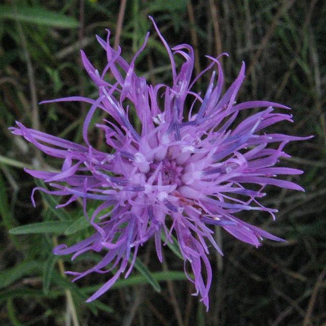Wildflower Anemone, Wood Irish Wild Flora Wildflowers of Ireland