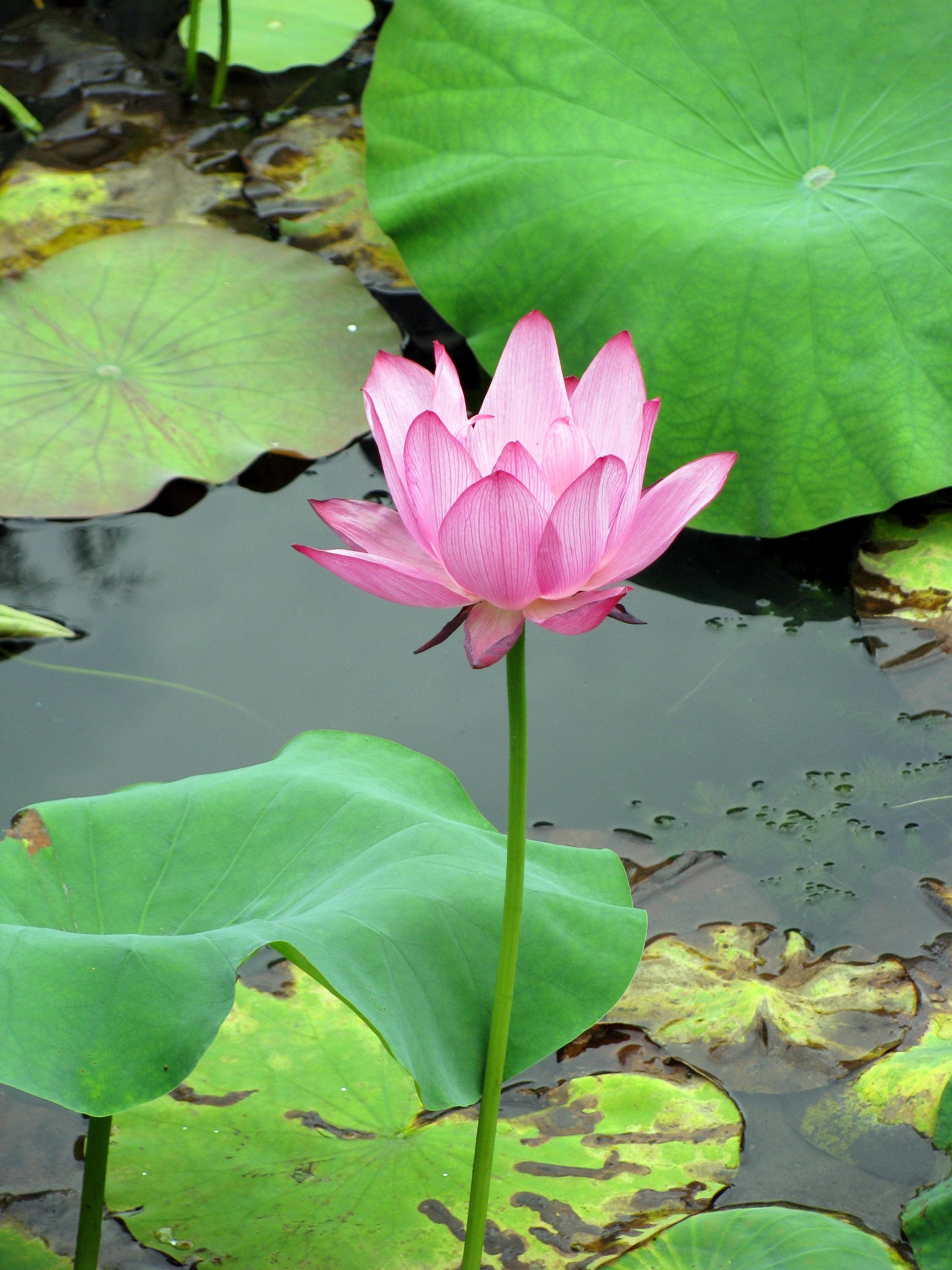 Lotus Eater L E Song List Httpmozbengalimp3wap