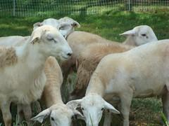 Koyun bakımı
