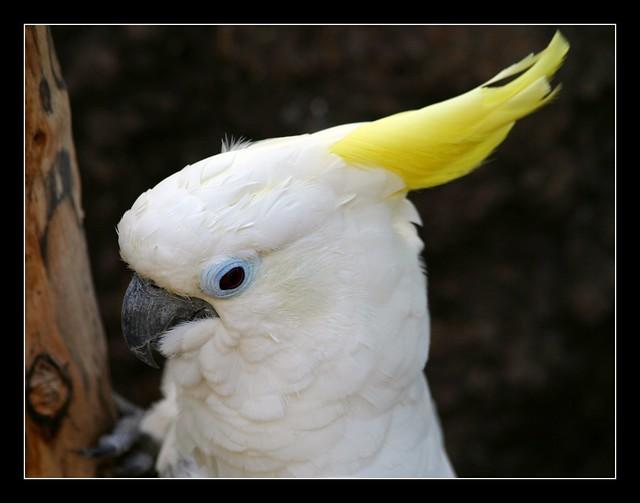 Blue eyed triton cockatoo - photo#27