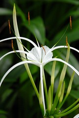 lily(0.0), grass(0.0), plant(0.0), plant stem(0.0), hymenocallis(1.0), flower(1.0), leaf(1.0), hymenocallis littoralis(1.0), macro photography(1.0), flora(1.0), green(1.0), close-up(1.0),