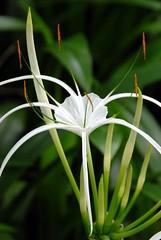 hymenocallis, flower, leaf, hymenocallis littoralis, macro photography, flora, green, close-up,