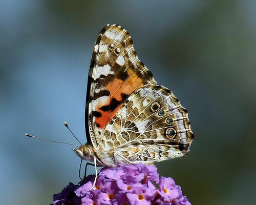 macro nature butterfly