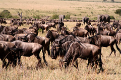 adventure(0.0), mustang horse(0.0), cattle-like mammal(1.0), animal(1.0), wildebeest(1.0), plain(1.0), mammal(1.0), herd(1.0), grazing(1.0), fauna(1.0), savanna(1.0), grassland(1.0), safari(1.0), wildlife(1.0),