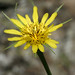 Yellow Salsify - Photo (c) Lynette Schimming, some rights reserved (CC BY-NC)