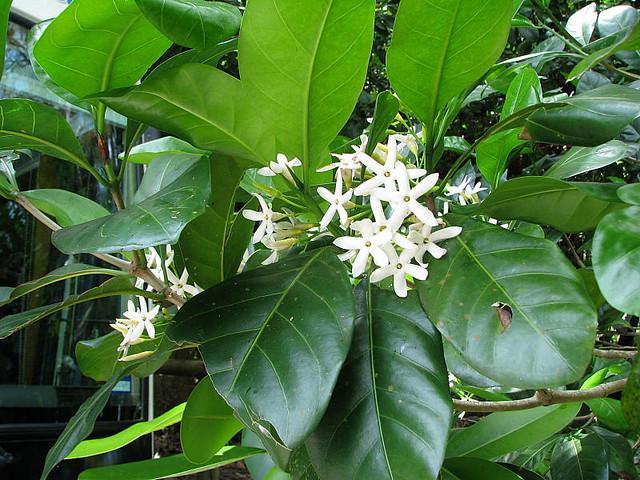 Atractocarpus fitzalanii