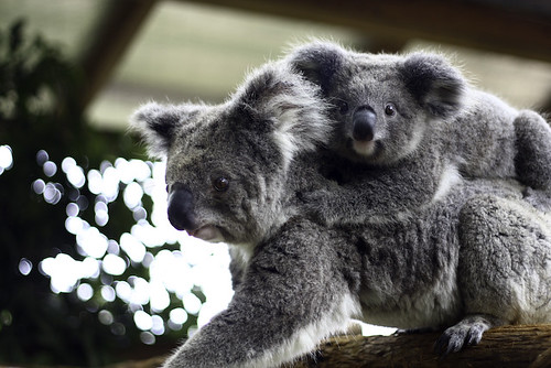 Mother Koala with her cub