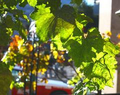 Downtown Grapes