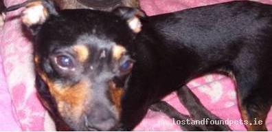 Wed, Jun 1st, 2011 Lost Female Dog - Monaghan Rd, Cootehill, Cavan
