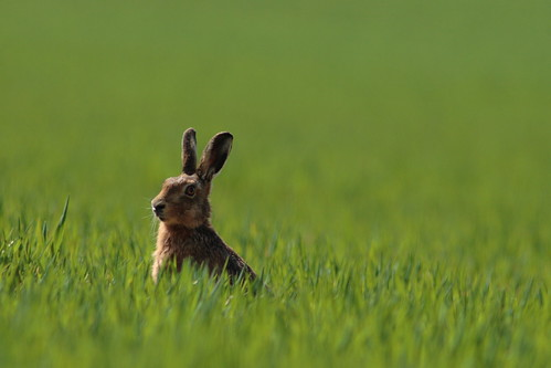 Brown Hare, eating, watching, sunbathing,,