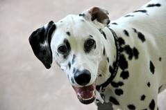 dog breed, animal, dog, white, pet, mammal, dalmatian,