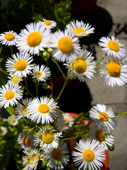 annual plant, flower, yellow, plant, daisy, wildflower, flora, close-up, daisy, petal,