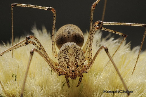 Spitting Spider..   Explore