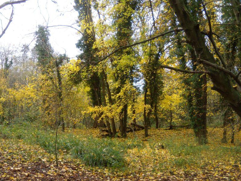yellow trees Guildford Circular via Chantries Hill