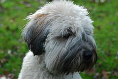pumi(0.0), lagotto romagnolo(0.0), poodle crossbreed(0.0), bouvier des flandres(0.0), catalan sheepdog(0.0), cairn terrier(0.0), irish soft-coated wheaten terrier(0.0), dog breed(1.0), animal(1.0), dog(1.0), schnoodle(1.0), lã¶wchen(1.0), polish lowland sheepdog(1.0), tibetan terrier(1.0), glen of imaal terrier(1.0), sapsali(1.0), dandie dinmont terrier(1.0), carnivoran(1.0), terrier(1.0),