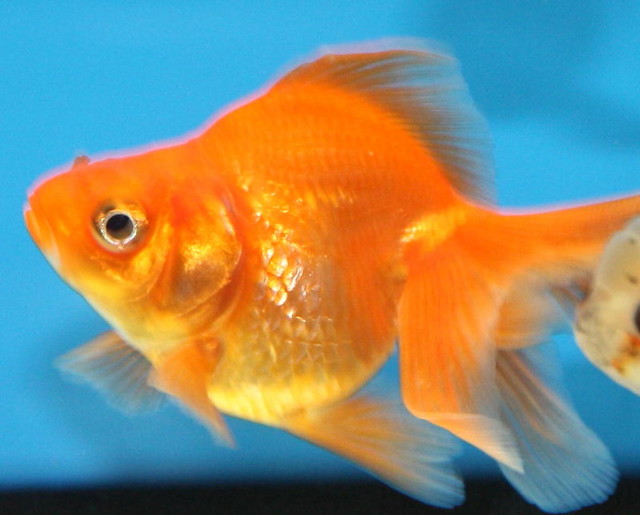 Fantail goldfish - photo#24