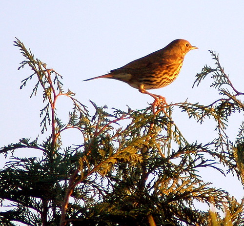Mistle Thrush caught in dying sunlight
