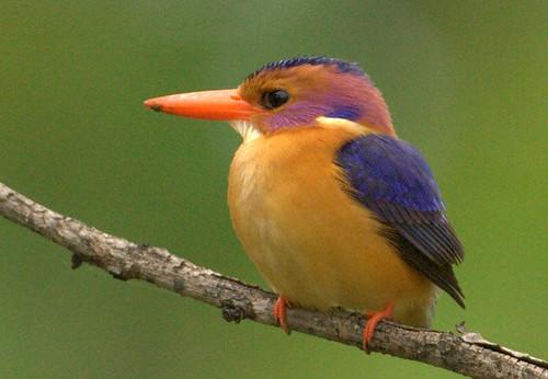African Pygmy-Kingfisher (Ispidina picta) Dwergvisvanger