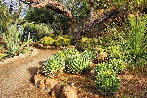 arizona cactus cacti desert superior boyce boycethompsonarboretum boycethompson cactusgarden concordians jhaskellus jhaskell jackhaskell