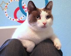 burmilla(0.0), thai(0.0), tonkinese(0.0), nose(1.0), animal(1.0), khao manee(1.0), small to medium-sized cats(1.0), pet(1.0), mammal(1.0), european shorthair(1.0), snowshoe(1.0), cat(1.0), whiskers(1.0), domestic short-haired cat(1.0),