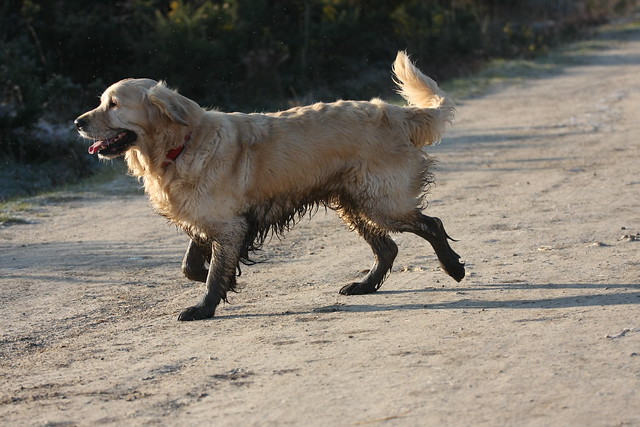 Muddy Golden retriever IMG_2677