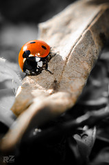 Ladybug in the winter