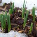 crocus shoots