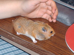 guinea pig(0.0), animal(1.0), rodent(1.0), pet(1.0), mouse(1.0), hamster(1.0), whiskers(1.0), gerbil(1.0),