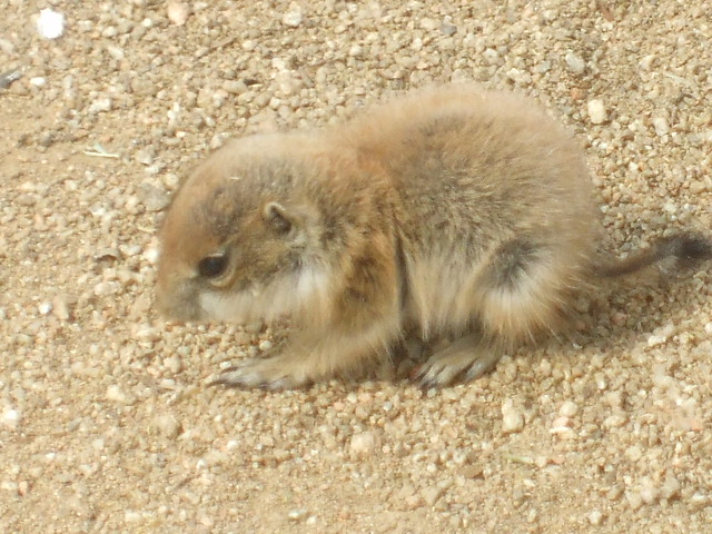 Prairie Dogs baby | Flickr - Photo Sharing!