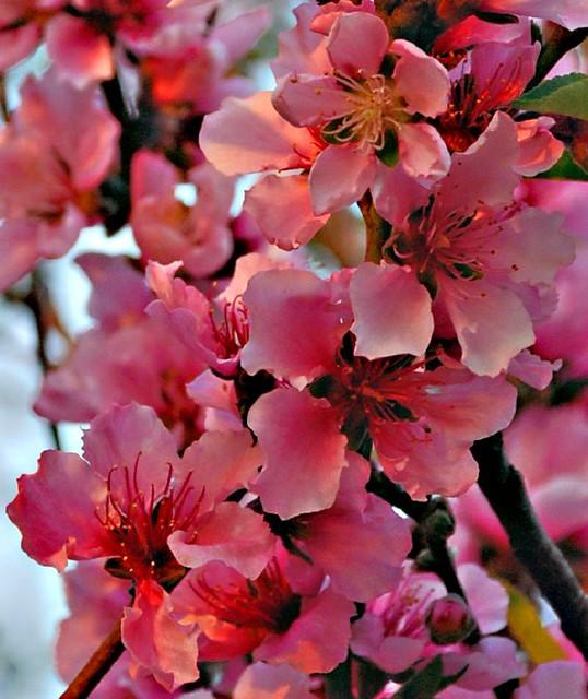 peach tree flowers | Flickr - Photo Sharing! Peach Tree Flowers