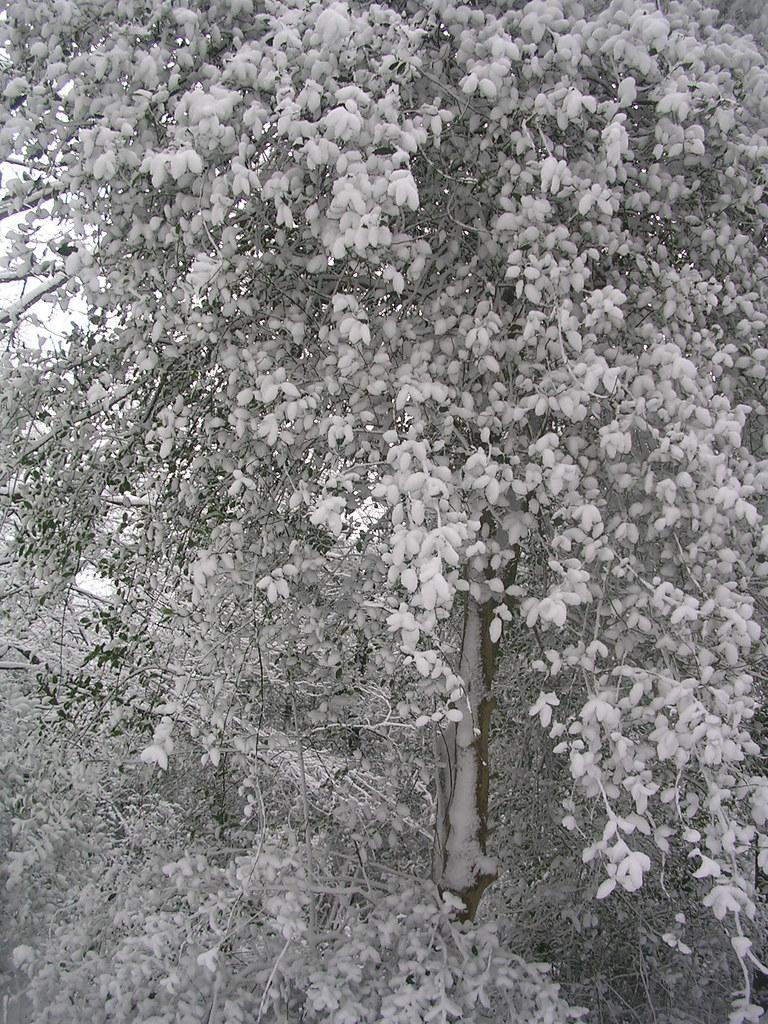 White tree Haslemere Circular (silent walk)