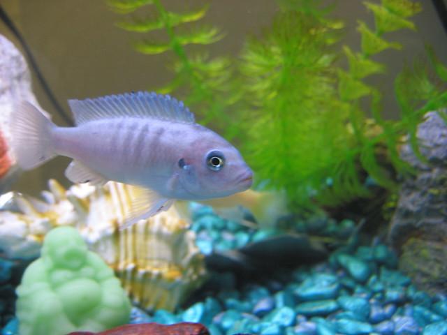 purple striped cichlid Flickr - Photo Sharing!