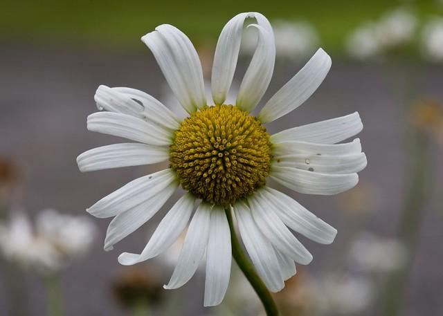 Daisy turbine