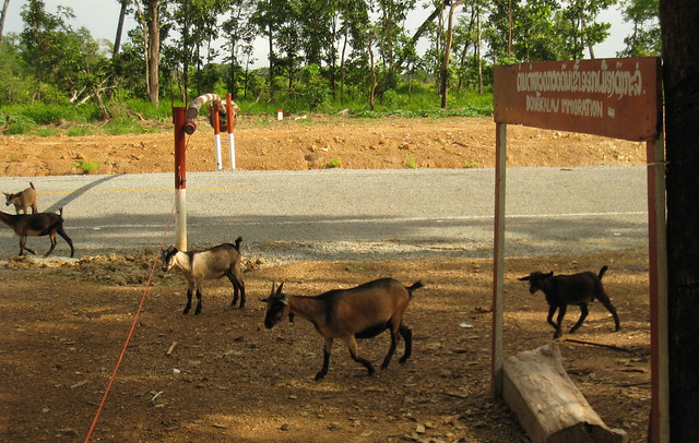 goats crossing lao cambodia border