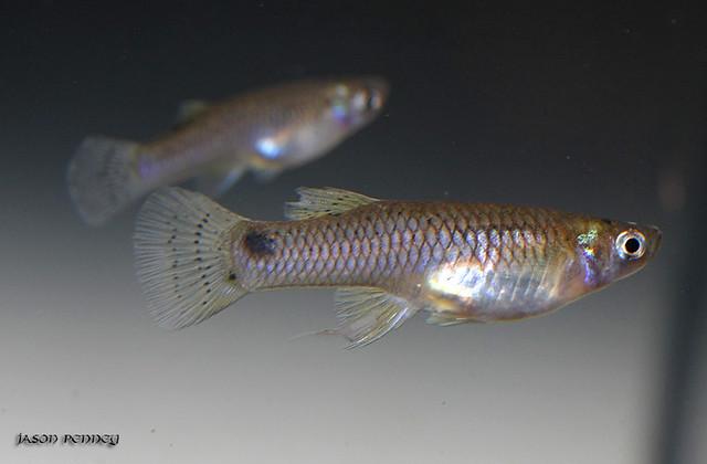 Western Mosquitofish - Gambusia affinis Flickr - Photo Sharing!