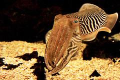 fish(0.0), animal(1.0), cephalopod(1.0), organism(1.0), marine biology(1.0), invertebrate(1.0), fauna(1.0), cuttlefish(1.0),