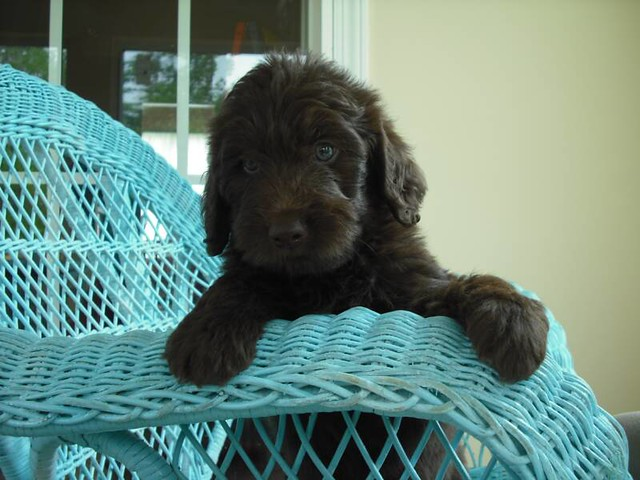 Chocolate Mini Labradoodle