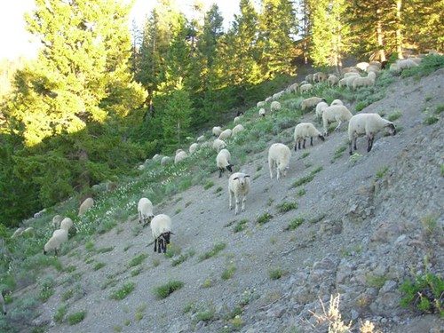 sheep idaho sunvalley bigwoodrivervalley defendersofwildlife defendersmyw072908 oregongulch defendersorg