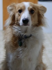 spaniel(0.0), dog breed(1.0), animal(1.0), kooikerhondje(1.0), dog(1.0), pet(1.0), golden retriever(1.0), carnivoran(1.0),