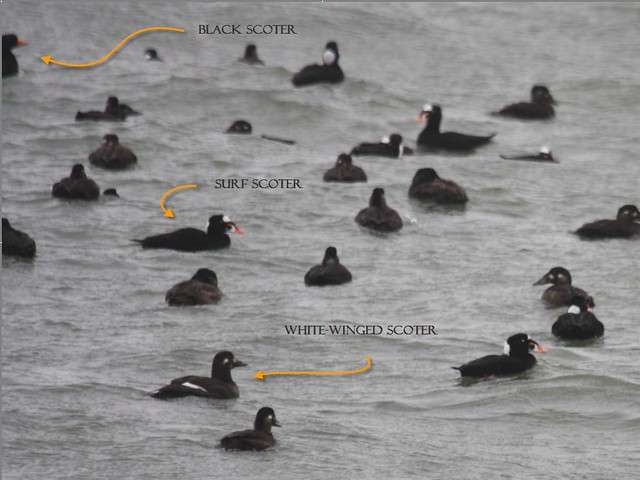 All Three Scoters