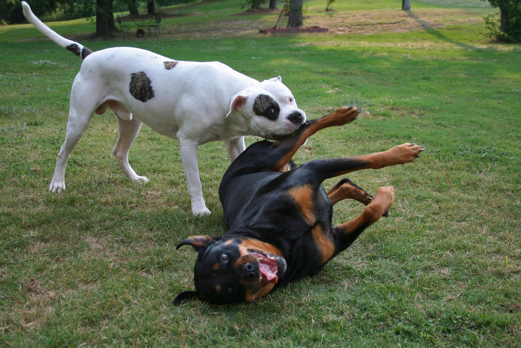 Nom American Bulldog Rottweiler Fight A Photo On Flickriver