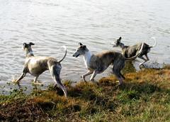 animal, dog, whippet, galgo espaã±ol, sighthound, sloughi, pet, mammal, fauna, wildlife,