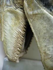 trilobite(0.0), pleurotus eryngii(0.0), wood(0.0), horn(0.0), food(0.0), macro photography(1.0), fossil(1.0), close-up(1.0),