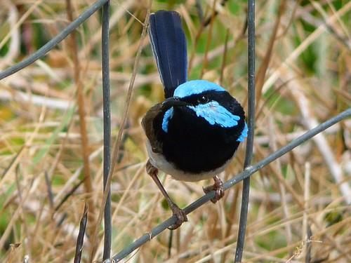 Blue Wren by padraic_koen
